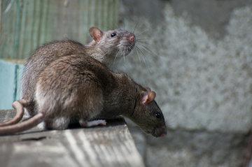 Ratten-vangkooi
