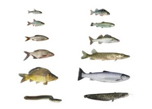 Vissen-vangkooi