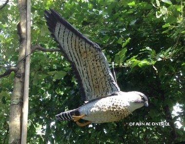 Vliegende slechtvalk